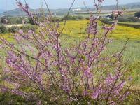 albero in fiore e panorama rurale - 1 aprile 2012  - Trapani (604 clic)