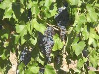 uva nera - vigneto - 15 agosto 2012  - Alcamo (354 clic)