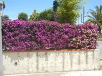 siepe di buganvillea e lantana - 31 maggio 2012  - Alcamo (1887 clic)