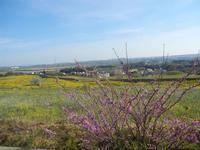 albero in fiore e panorama rurale - 1 aprile 2012  - Trapani (571 clic)