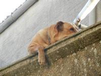cane riposa sul davanzale di un piccolo terrazzo - 1 aprile 2012  - Erice (364 clic)