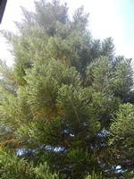 albero - 31 maggio 2012  - Alcamo (222 clic)