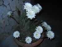 fiori di cactus - 30 luglio 2012  - Alcamo (262 clic)
