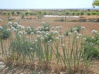 piante di aglio in fiore e panorama agreste - 3 giugno 2012  - Nubia (558 clic)