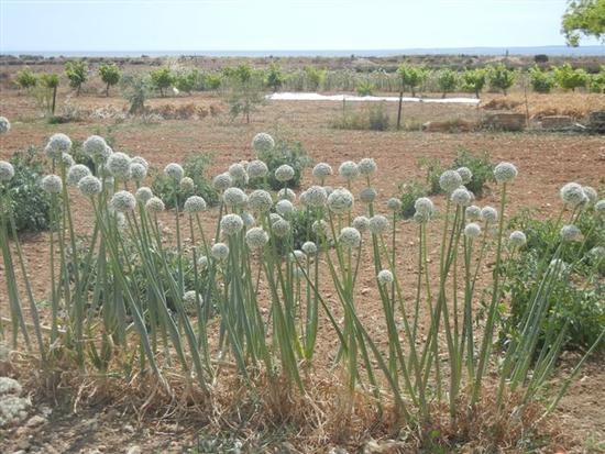 piante di aglio in fiore e panorama agreste - NUBIA - inserita il 05-Mar-15