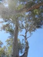 Bosco di Scorace - eucalipto - 15 agosto 2012  - Buseto palizzolo (408 clic)