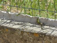 lucertola - 6 aprile 2012  - Alcamo (397 clic)
