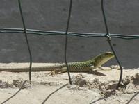 lucertola - 6 aprile 2012  - Alcamo (309 clic)