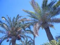 palme - giardino di Piazza della Repubblica - 28 agosto 2012  - Alcamo (375 clic)