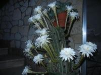 fiori di cactus - 30 luglio 2012  - Alcamo (221 clic)