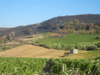 vigneti e terre bruciate - 15 agosto 2012  - Alcamo (209 clic)
