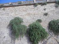 piante di capperi sul muro - centro storico - 9 settembre 2012  - Marsala (313 clic)