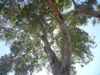 Bosco di Scorace - eucalipto - 15 agosto 2012  - Buseto palizzolo (440 clic)