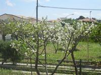 alberi in fiore - 6 aprile 2012  - Alcamo (322 clic)