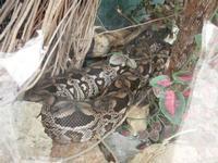 BIOPARCO di Sicilia - rettilario - 17 luglio 2012  - Villagrazia di carini (368 clic)