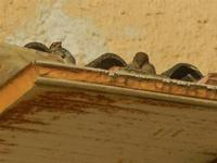 passeri su cornicione 8 gennaio 2012  - Marinella di selinunte (824 clic)