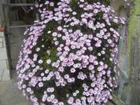 margherite lilla - 7 aprile 2012  - Alcamo (374 clic)