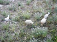 caprette al pascolo - 18 maggio 2012  - Castellammare del golfo (271 clic)
