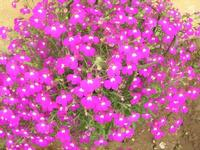 SIRIGNANO - Agriturismo - fiori - 1 maggio 2012  - Monreale (823 clic)