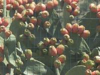 ficodindia - 15 agosto 2012  - Buseto palizzolo (469 clic)