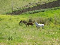 cavalli e puledri in libertà - Baglio Arcudaci - 1 aprile 2012  - Bruca (473 clic)