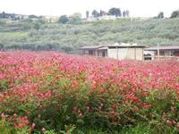 campo di sulla ed oliveto - 29 aprile 2012  - Buseto palizzolo (1946 clic)