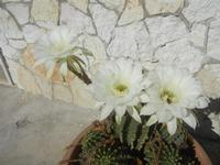 fiori di cactus - 18 agosto 2012  - Alcamo (228 clic)