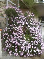 margherite lilla - 7 aprile 2012  - Alcamo (429 clic)