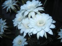 fiori di cactus - 30 luglio 2012  - Alcamo (248 clic)