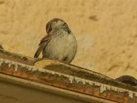 passero su cornicione 8 gennaio 2012  - Marinella di selinunte (737 clic)