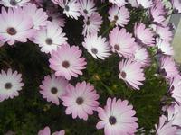 margherite lilla - 7 aprile 2012  - Alcamo (613 clic)