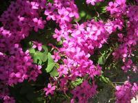 fiori - 6 maggio 2012  - Alcamo (608 clic)