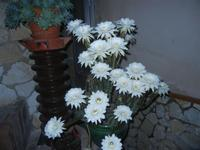 fiori di cactus - 30 luglio 2012  - Alcamo (238 clic)