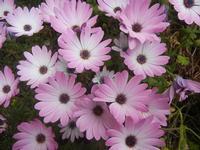 margherite lilla - 7 aprile 2012  - Alcamo (433 clic)