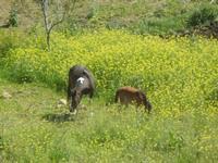 cavallo e puledro in libertà - Baglio Arcudaci - 1 aprile 2012  - Bruca (498 clic)