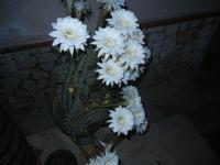 fiori di cactus - 30 luglio 2012  - Alcamo (250 clic)