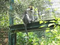 BIOPARCO di Sicilia - primati - 17 luglio 2012  - Villagrazia di carini (1353 clic)