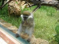 BIOPARCO di Sicilia - primati - 17 luglio 2012  - Villagrazia di carini (912 clic)