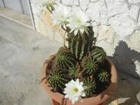 fiori di cactus - 18 agosto 2012  - Alcamo (252 clic)