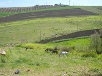 cavalli e puledri in libertà - Baglio Arcudaci - 1 aprile 2012  - Bruca (480 clic)