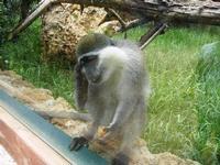 BIOPARCO di Sicilia - primati - 17 luglio 2012  - Villagrazia di carini (1292 clic)