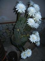 fiori di cactus - 30 luglio 2012  - Alcamo (241 clic)