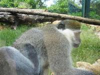 BIOPARCO di Sicilia - primati - 17 luglio 2012  - Villagrazia di carini (1435 clic)
