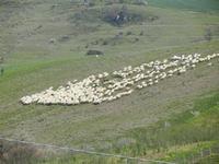 gregge in movimento - Baglio Arcudaci - 1 aprile 2012  - Bruca (489 clic)