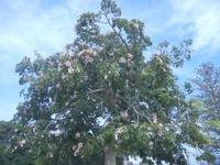 Villa Comunale Ignazio Scaturro - albero in fiore - 6 settembre 2012  - Sciacca (361 clic)