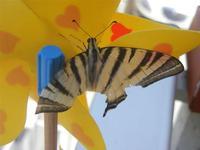Zona Plaja - farfalla su girandola - 29 luglio 2012  - Alcamo marina (303 clic)