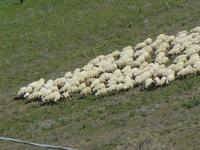 gregge in movimento - Baglio Arcudaci - 1 aprile 2012  - Bruca (514 clic)