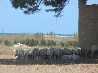 gregge all'ombra di un albero - particolare - 16 luglio 2012  - Nubia (291 clic)