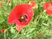 papaveri - 1 maggio 2012  - Alcamo (370 clic)