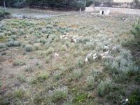 caprette al pascolo - 18 maggio 2012  - Castellammare del golfo (285 clic)